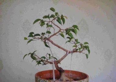 Как из фикуса сделать дерево 948