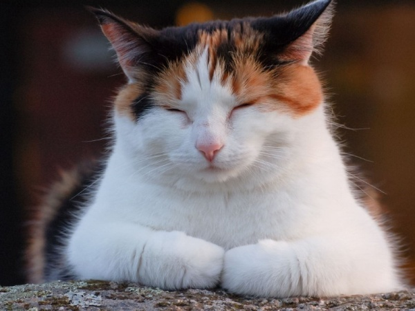 кошка фото трехцветная