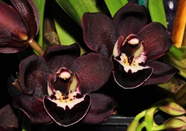 чорні орхідеї
