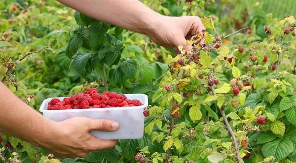 урожай малины