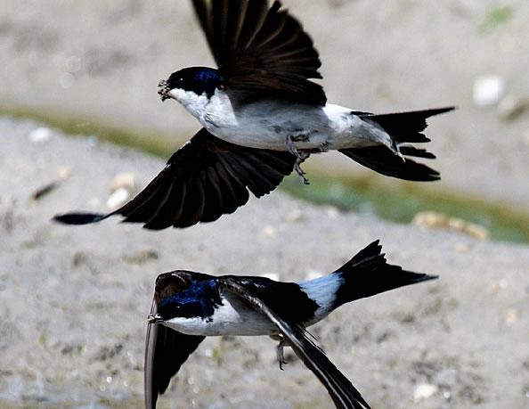 народные приметы погода ворона