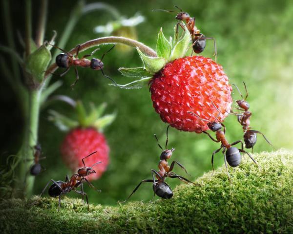 муравьи на клубнике