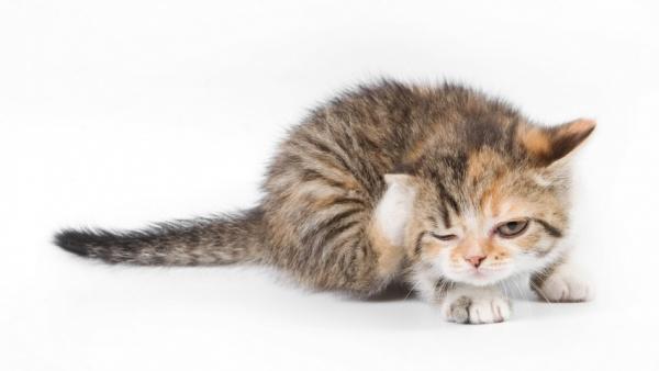 Как вывести блох у кормящей кошки – капли и ошейник от блох