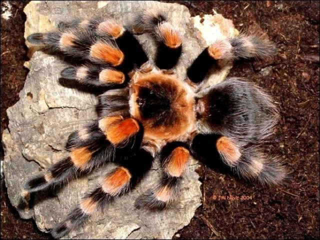 паук птицеед