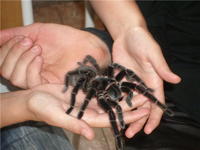 паук на руках